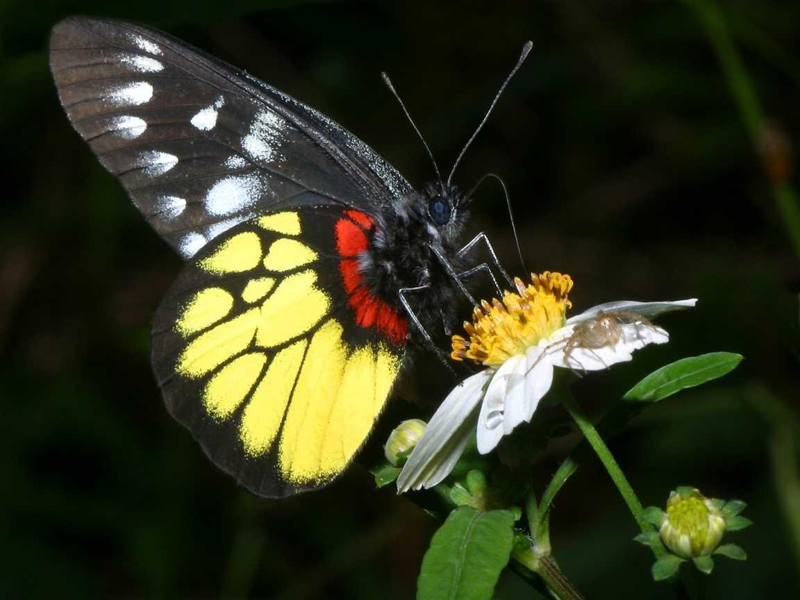 fluture galben cu negru