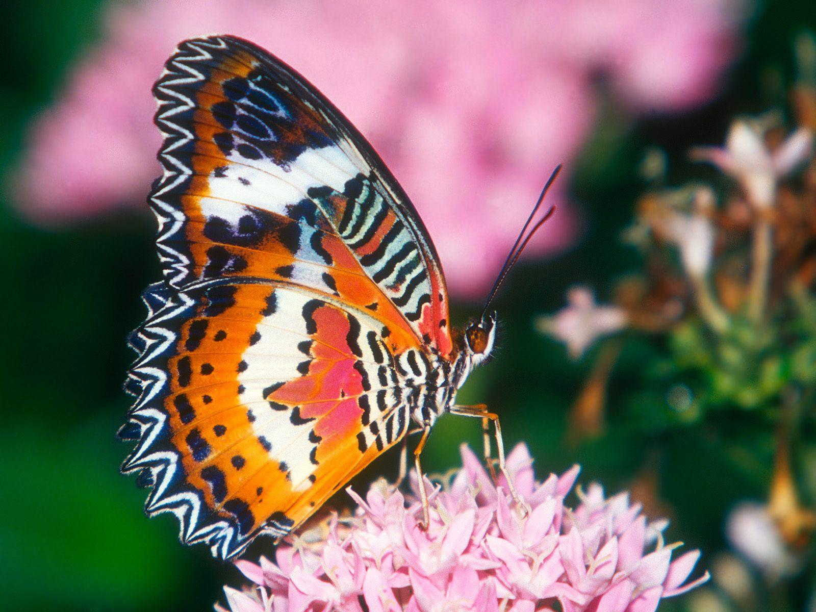 fluture portocaliu