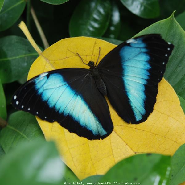 fluture albastru cu negru