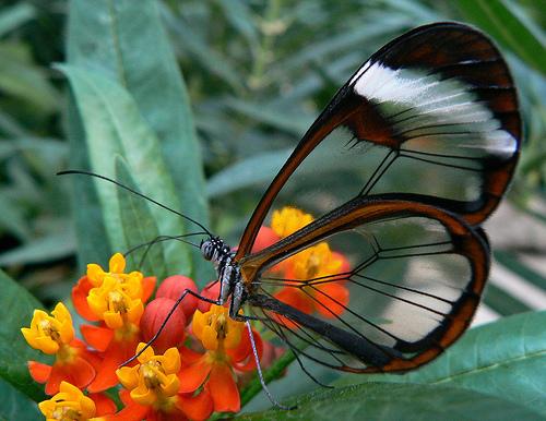 fluture cu aripi transparente