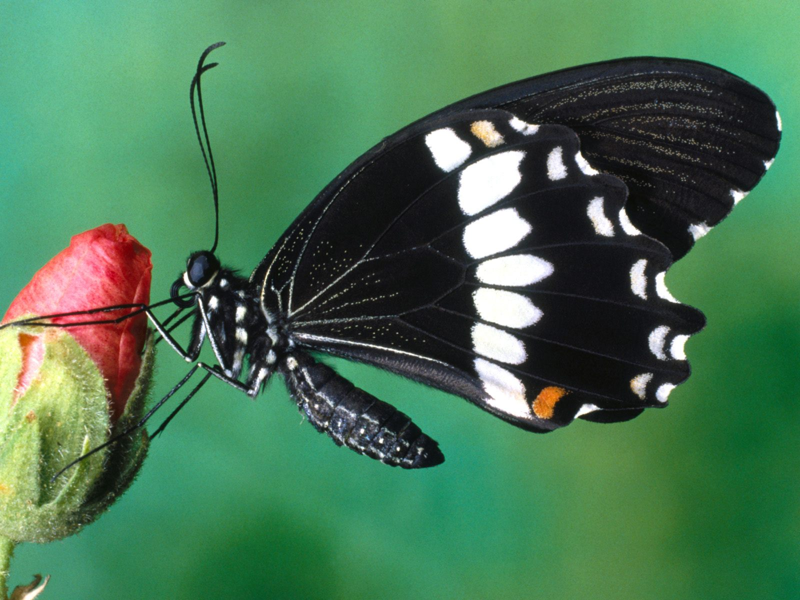 fluture negru cu alb