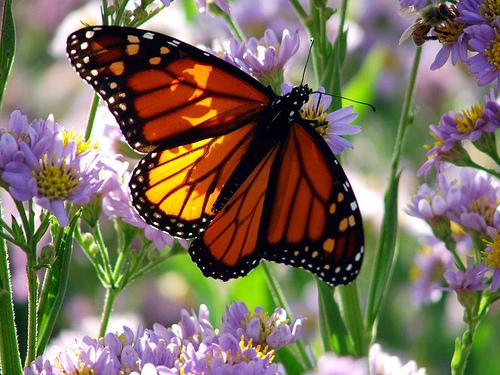 fluture portocaliu cu negru
